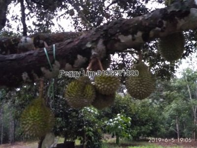 4.4465 Hectares Agricultural land, for Sale at  Kuala Lipis, Pahang